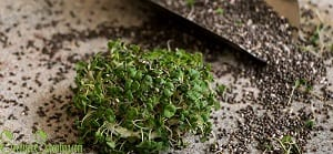 how to sprout chia seeds
